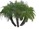 Pygmy Date Palm 10 Seeds a Beautiful Small Palm Tree