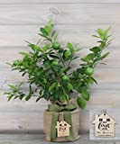 Housewarming Improved Persian Lime Gift Tree by The Magnolia Company - Get Fruit 1st Year, Dwarf Fruit Tree with Juicy & Delicious Limes, Indoor/Outdoor Live Potted Citrus Tree