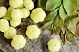 Go Garden Phyllanthus Acidus 10 Seeds Gooseberry Tree Rare Fruit Sour D549