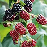 Boysenberry THORNLESS, Boysenberries, (2) 1YR+ Live Fruit Plants, Fruit, Fruits, Berries, Berry, Live Plants, Live Plant, Fruit Plants, Fruit Plant