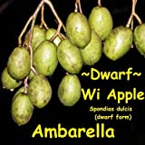 HUGE ! DWARF WI APPLE~Ambarella~ Spondias XL Size Fruit Tree Pot'd PLANT 3-4+ft