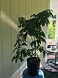 Mauritius Lychee Tree, Air Layered, Live Plant 3 Gallon Pots, No Ship to CA, TX, AZ
