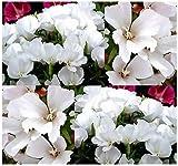 3000 x DWARF WHITE CLARKIA GODETIA - DWARF WHITE Flower Seeds excellent cut flower - EXCELLENT COLORFUL BORDER OR CUT FLOWER - By MySeeds.Co