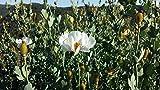 Go Garden Matilija Poppy Seeds Romneya Coulteri Fried Egg Plant 100+ Seeds