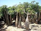 Pachypodium geayi 10 Seeds - Rare - Succulent - Bonsai