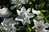 GARDENIA JASMINOIDES 'SUMMER SNOW' - STARTER PLANT