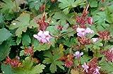 4 Starter Plants of Geranium Macrorrhizum Ingwersen Variety