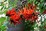 10 Seeds Erythrina lysistemon Common Coral Tree