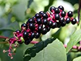 Pokeweed (200 seeds) fresh this season's harvest from my garden
