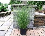 Miscanthus Gracillimus (Maiden Grass), 1 Gal