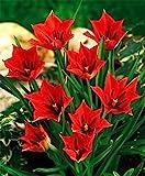 20 x Tulipa linifolia bulbs (Flax-leaved Tulip)