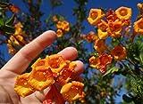 10 Seed Tecoma stans Orange Jubilee guarume alata Bell Star Trumpet Bush Cahuato