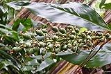 20 Galangal Seed , grow your own galangal for cooking,Alpinia galanga