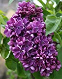 Yankee Doodle Lilac Tree Certified 10 Seeds #301 Item UPC#636134972489