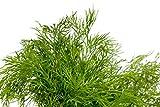 RDR Seeds 100 Dill Seeds - Bouquet Dill Anethum Graveolens