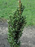 4 Year PLANT of Taxus Baccata Green Column