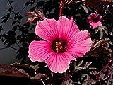 Special Hibiscus Acetosella - Cranberry Hibiscus - Rare Tropical Plant Seeds (5)