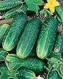 Carolina F1 Hybrid Cucumber 25 Seeds Heavy Bearing Extremely Disease Resistant