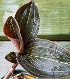 Jewel Orchid 'Ludisia Discolor' RARE plant