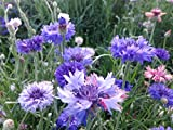 Perennial Centaurea Cyanus (Cornflower / Bachelor's Button) Large-flowered Blue 500 Seeds