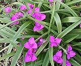 8 Spiderwort Tradescantia Bare Root Perennial Garden Hardy Tuff Landscape Plant