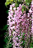 Pink Ice Wisteria Vine 2 - Year Live Plant
