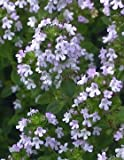 Seedville 1000 LEMON THYME Thymus Citriodorus Flower Herb Seeds