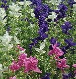 Legend Online Garden Seeds Flower Salvia Marble Arch Mix II D1845SALV (Blue, White, Pink) 100 Open Pollinated Seeds