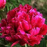 Karl Rosenfield Garden Peony: Paeonia lactiflora - 1 Bulbs
