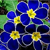European Evening Blue Primrose Seeds F100 Primula vulgaris/acaulis hybrid