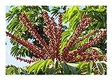 Schefflera actinophylla - Umbrella Tree - 20 Seeds