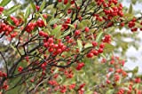 (20) Red chokeberry Tree Seeds - Aronia arbutifolia Brilliantissima