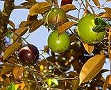 Chrysophyllum Cainito - Purple Star Apple - Rare Tropical Plant Tree Seeds (5)