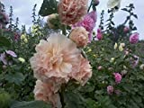 Perennial Tall Alcea Rosea (Common Hollyhock) Double-flowered Mixed Colors 500 Seeds