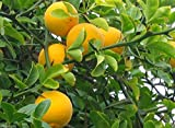 Hardy Orange seed (Poncirus trifoliata) a.k.a Chinese Bitter Orange,Hardy zone 5(10 Seeds)