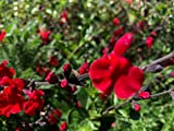 P069S. Salvia greggii Red Swing - 30 Seeds