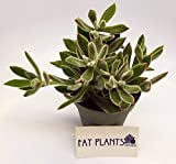 "Fat Plants San Diego Echeveria Pulvinata Succulent in a 4"" Pot"