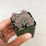 Sedum Hispanicum Purpureum Succulent (2 inch)