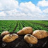 Simply Seed - 5 LB - Yukon Gold Potato Seed - Non GMO - Organic Grown - Order Now for Spring Planting