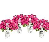 Proven Winners SUPPRW4017524 Petunia Live Plants 4.25 in. Grande Pink