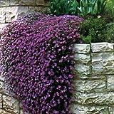 Outsidepride Aubrieta Rock Cress Cascade Purple Ground Cover Plant Seed - 1000 seeds