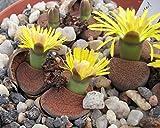 50 LITHOPS LESLIEI - seeds LIVING STONES ~ mesemb