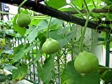 Bottle Gourd 10 Seeds - Nam Tao Klom (Asian Vegetable) Round Shaped Fruit