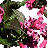 Wine & Roses Weigela ( florida ) - Live Plant - Quart Pot