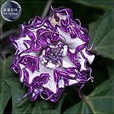 New Purple Moon Angel Trumpet Datura / Yellow Datura Metel Flowers, Professional Pack, 20+ Seeds