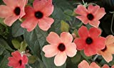 Thunbergia Vine Seeds * Mixed Colors * Great in Hanging Baskets