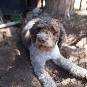 The Lagotto Romagnolo Dog Journal: 150 page lined notebook/diary 2