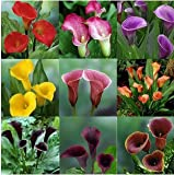 100 Seeds Rare Colorful Calla Lily Flower Seeds Home Garden Plants Seed DIY Bonsai