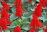 Salvia Seeds- St John's Fire- Scarlet Red Color- 100+ 2019 Seeds