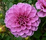 """'Serkan' Waterlily Dahlia, 8"""" Blooms, RARE"""